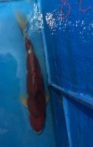 096-chendra bjm-chendra-banjarmasin-goshiki-38cm