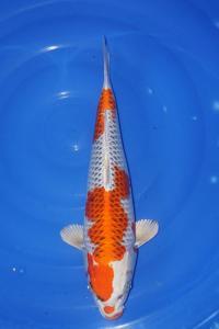 077-jakarta koi center-jakarta-jakarta koi center-jakarta-hikarimoyomono-45cm