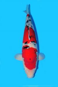 215-Surya Chandra - Banjarmasin -Sanke 63 cm - female - IMport - Handling Gading Koi Centre