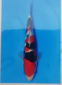 213-Surya Chandra - Banjarmasin -Sanke 40 cm - female - IMport - Handling Gading Koi Centre