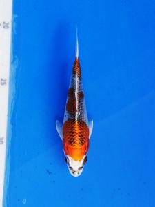 151-Franky - Banjarmasin-topkoifarm- surabaya-hikari moyomono 12 cm